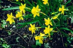 在雨下的黄水仙在早期的春天在后院1 免版税图库摄影