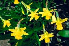 在雨下的黄水仙在早期的春天在后院2 免版税图库摄影