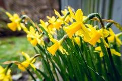 在雨下的黄水仙在早期的春天在后院3 库存图片
