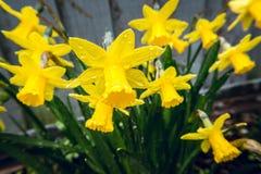 在雨下的黄水仙在早期的春天在后院4 库存图片