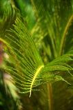 在雨下落的棕榈叶 免版税库存图片