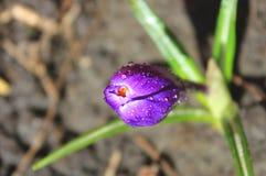 在雨下落的番红花 库存照片