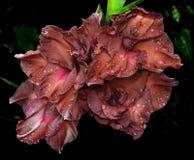 在雨下落的美丽的剑兰花 免版税库存照片