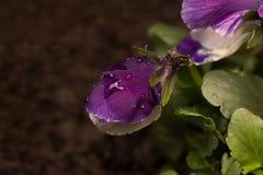 在雨下落盖的紫罗兰色蝴蝶花 免版税图库摄影