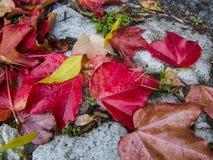 在雨以后的五颜六色的秋天叶子在鹅卵石路面 库存照片