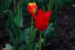 在雨以后的五颜六色的郁金香在一个温暖的春日 免版税库存照片