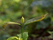 在雨以后的咖啡属饱满的叶子新芽 免版税图库摄影