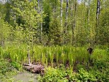 在雨以后的春天森林 免版税库存照片