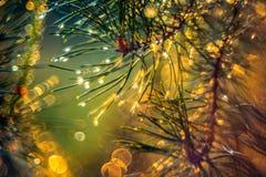 在雨以后的杉木针在日落光,特写镜头