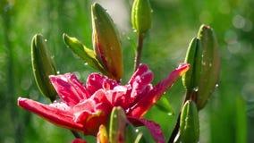 在雨以后的桃红色百合花 影视素材
