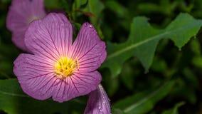 在雨以后的桃红色花 库存图片