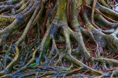 在雨以后的榕树根接近的看法  库存照片