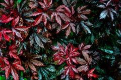 在雨以后的湿红色和绿色叶子 免版税图库摄影