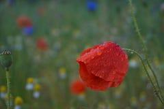 在雨以后的湿花 图库摄影