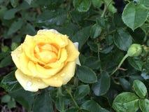 在雨以后的热带黄色玫瑰 免版税图库摄影