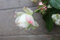 在雨以后的白色和桃红色玫瑰与水滴 免版税库存照片