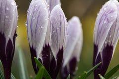 在雨以后的紫色番红花 库存图片