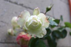 在雨以后的红色和桃红色玫瑰与水滴 免版税库存图片