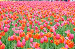 在雨以后的美丽和典雅的红色郁金香 免版税库存照片