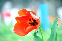 在雨以后的美丽和典雅的红色郁金香 库存照片