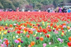 在雨以后的美丽和典雅的红色郁金香 免版税图库摄影