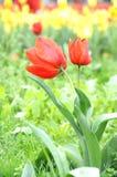 在雨以后的美丽和典雅的红色郁金香 库存图片