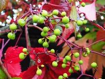 在雨以后的美丽的红色叶子,美好的秋天自然,细节和 免版税库存照片