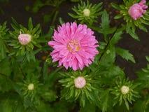 在雨以后的翠菊花 免版税库存图片