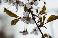 在雨以后的苹果树,它嗅到芬芳 免版税库存照片