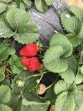 在雨以后的草莓 库存照片