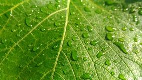 在雨以后的葡萄叶子 库存照片