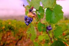 在雨以后的葡萄 免版税图库摄影