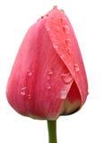 在雨以后的郁金香 图库摄影