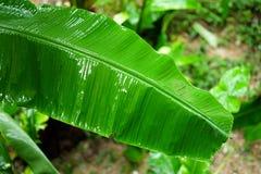 在雨以后的香蕉叶子 免版税库存图片