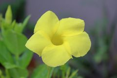 在雨以后的黄色花 图库摄影