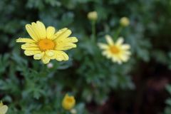 在雨以后的黄色花 库存照片