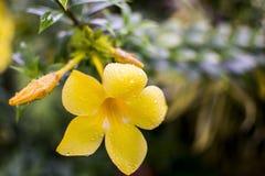 在雨以后的黄蔓花 免版税库存图片