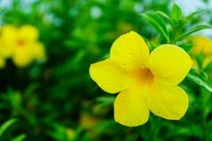在雨停止了后,这朵黄色花是非常美丽的 库存图片