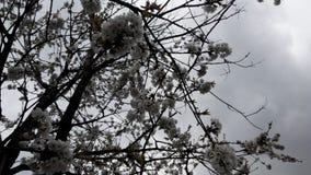 在雨前的野黑樱桃开花 免版税库存照片