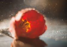 在雨和光淋浴的郁金香花 库存照片