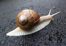 在雨在街道,特写镜头以后的蜗牛 免版税库存图片