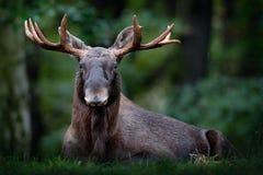 在雨天期间,麋、北美或者欧亚麋,欧亚大陆,驼鹿属驼鹿属在黑暗的森林里 在自然ha的美丽的动物 免版税库存图片