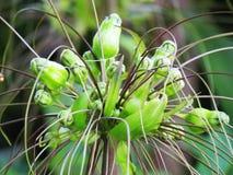 在雨季期间,匍匐根茎植物leontopetaloides或东印度人葛粉开花绽放 图库摄影