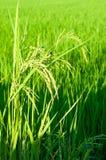 稻在雨季的产物五谷在温暖的光,泰国 库存照片