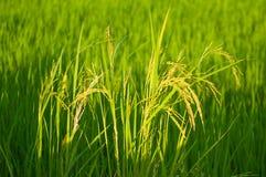稻在雨季的产物五谷在温暖的光,泰国 免版税库存照片