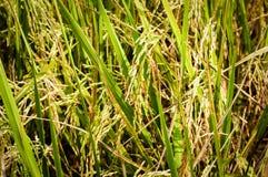 稻在雨季的产物五谷在温暖的光 免版税图库摄影