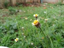 在雨季的美丽的黄色花 库存图片