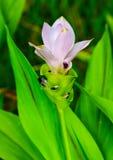 在雨季的郁金香花 库存图片