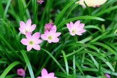 在雨季节的桃红色花 免版税库存图片