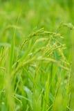 在雨季,有一个绿色米领域,有自然,美好环境美化和好天气 库存照片